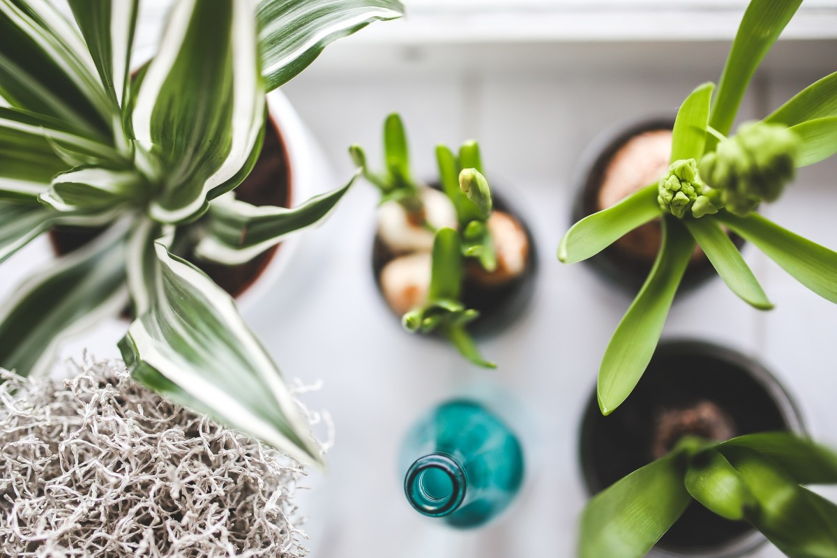 If you get your girlfriend as houseplant a gift, choose one that helps to clean the air. Spider plants, aloe vera, weeping fig (ficus), and English ivy are good choices.