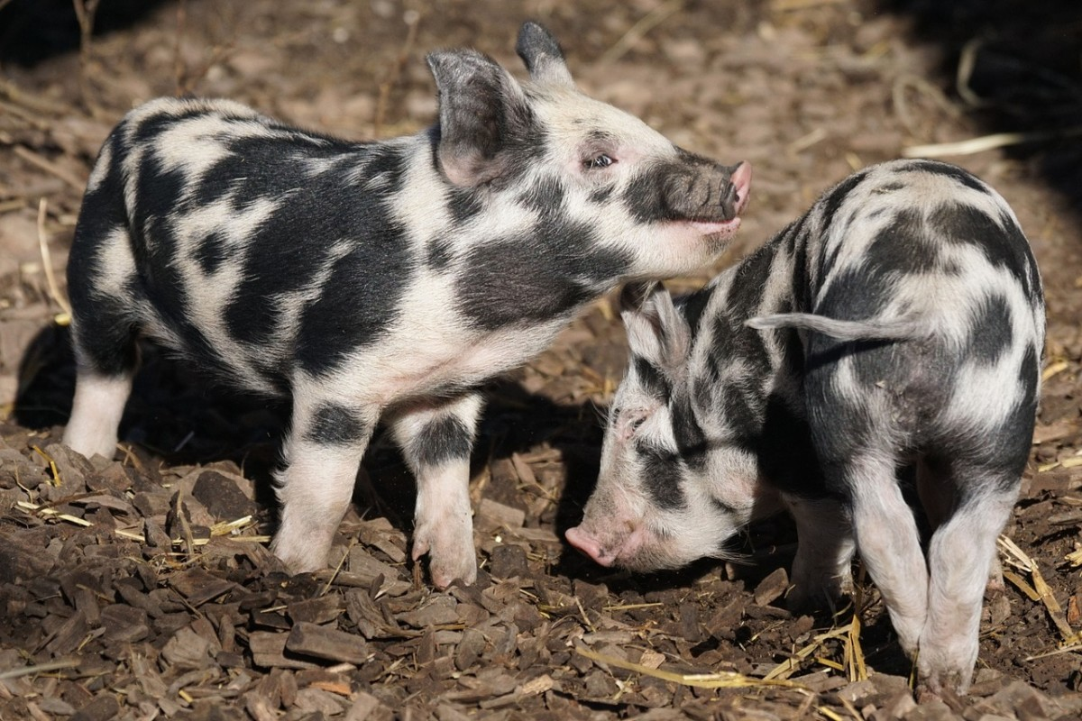 Pigs for March?  Well, okay then.