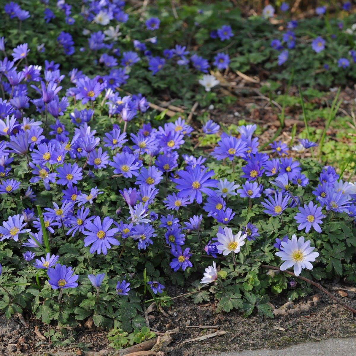 Beautiful blue wildflowers called anemone or pascal flower could be found in the hills of Livingston, Montana.