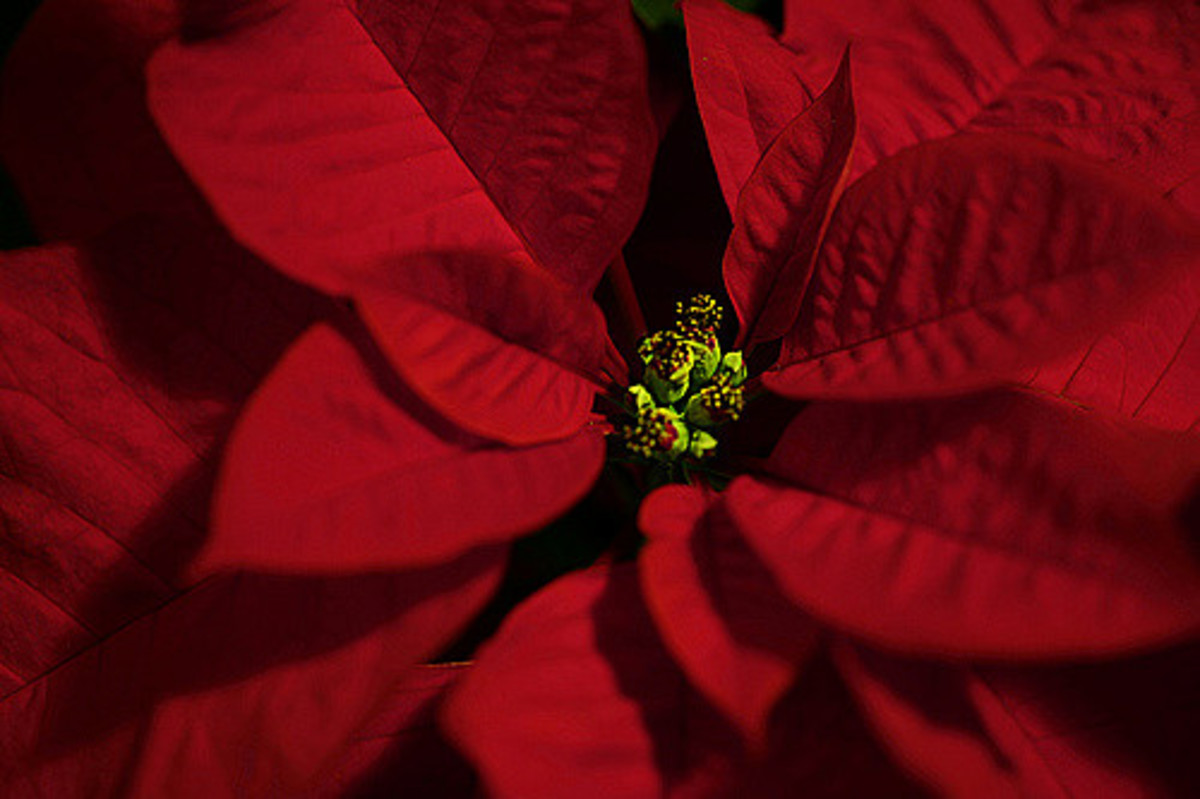 What's December without poinsettias? Poinsettia flowers are not at all large and showy; they're tiny, in the center of those specialized red leaves.
