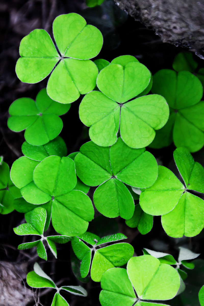 St. Patrick used the shamrock to teach the holy trinity. Some view the meaning of the shamrock as faith, love, and hope.