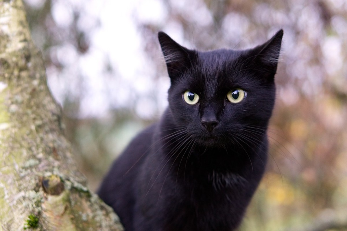 Black cats look like miniature panthers!