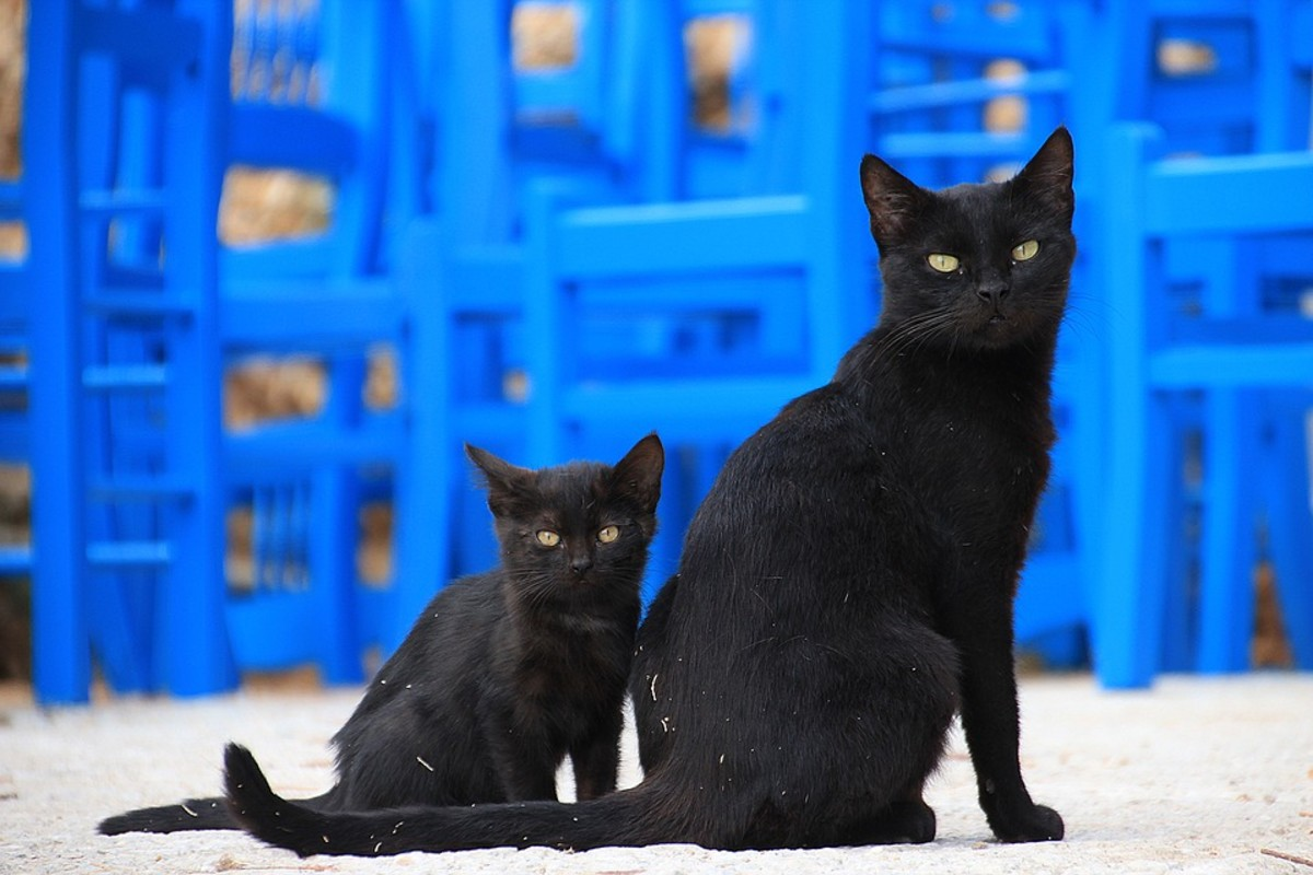 A black mamma cat and her adorable black kitten.