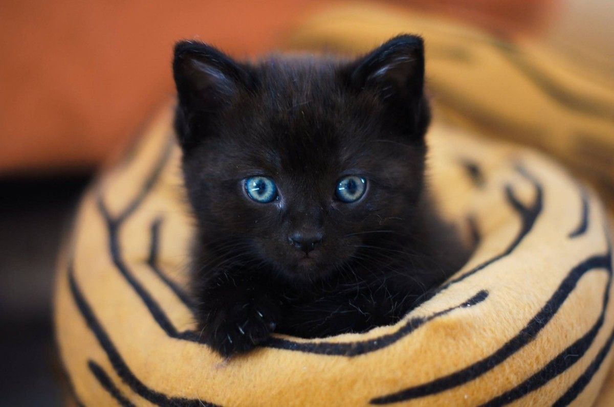 Black cats make loyal and affectionate pets.