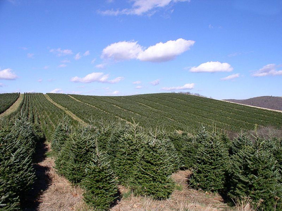 Fraser Fir tree farm.