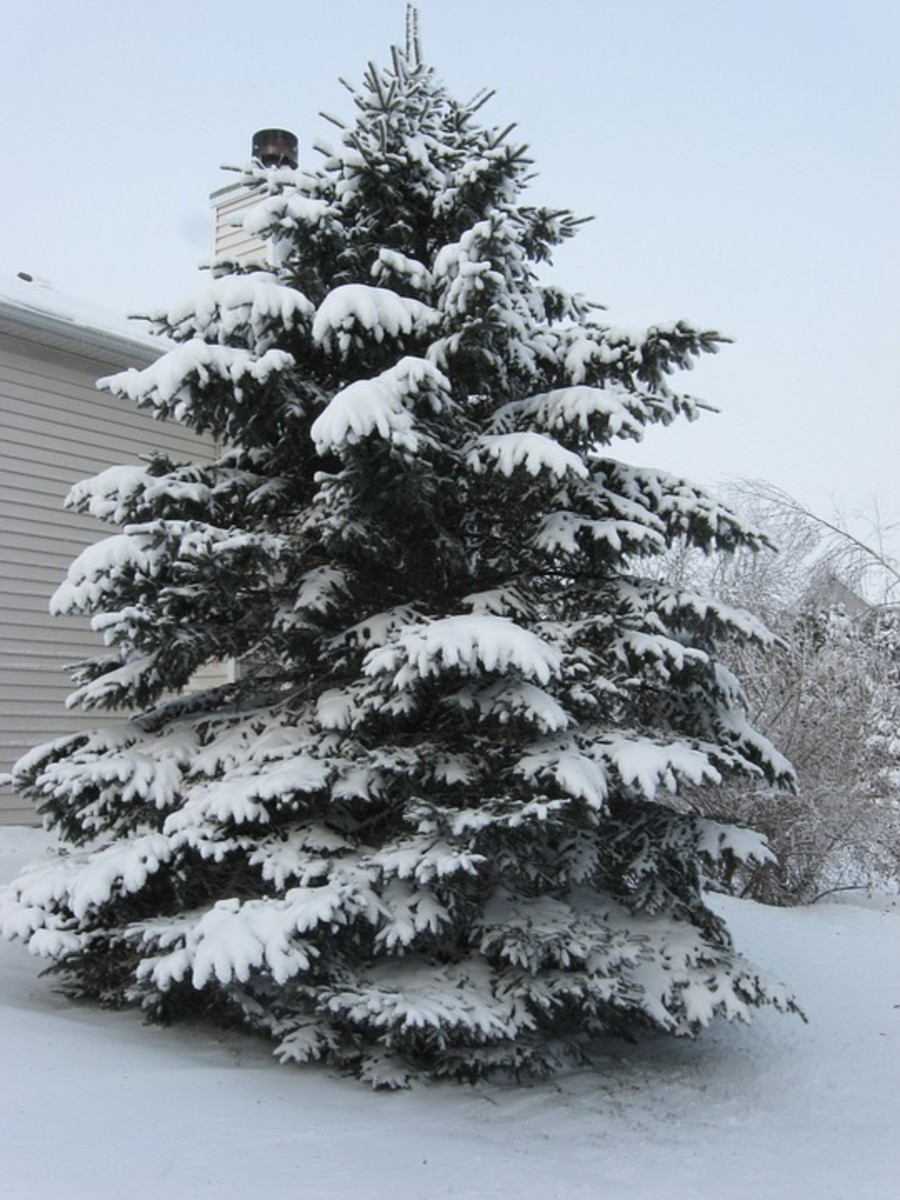 A living Christmas tree serves are a reminder of a special time as it grows in your yard.