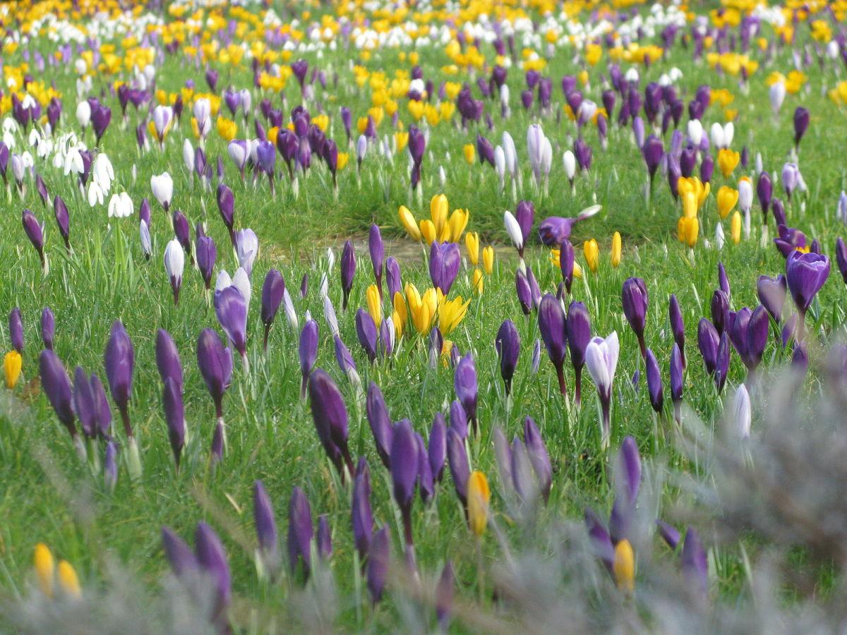 Spring crocus and snowdrops at the entrance to London's Hampstead Heath in March