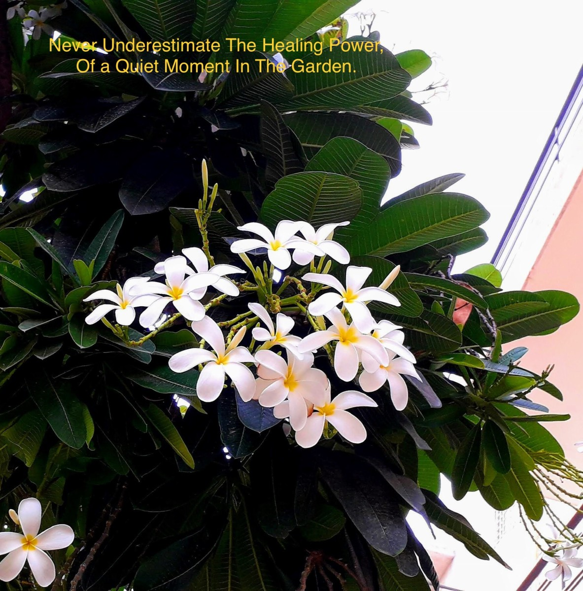 The fragrance of the champa flower is divine.