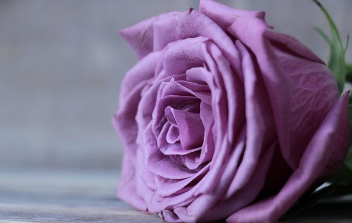 Purple-Lavender Roses