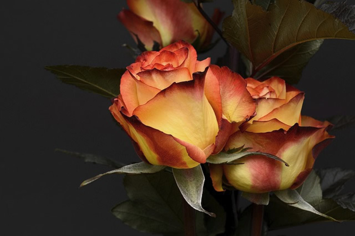Rose Color Combinations