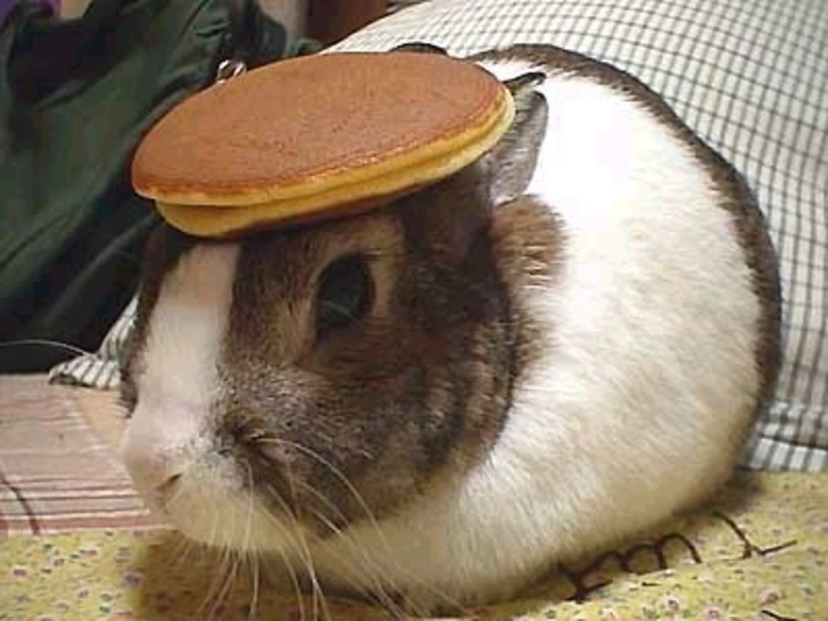 Oolong the Pancake Rabbit doing his most famous head performance.