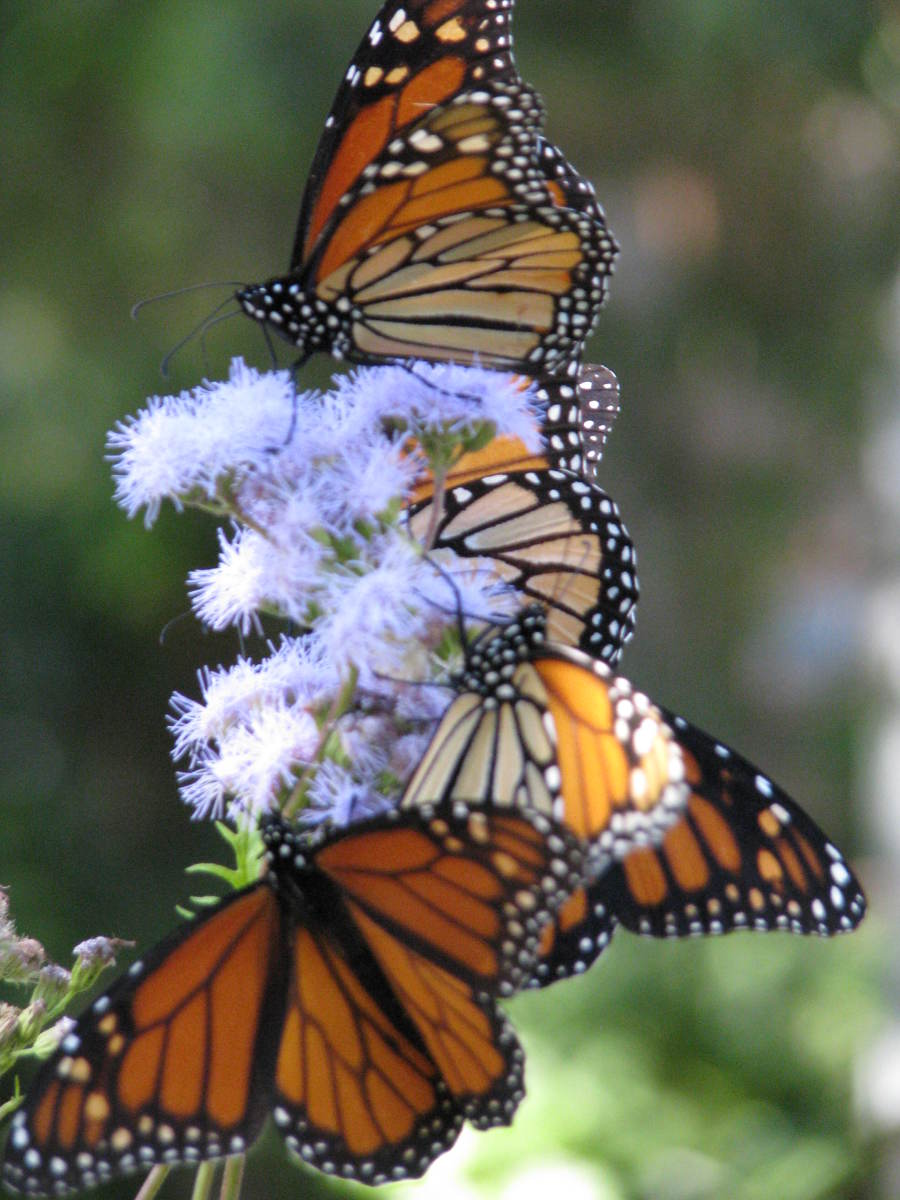 Monarchs on flowers. You can do fast photo editing.