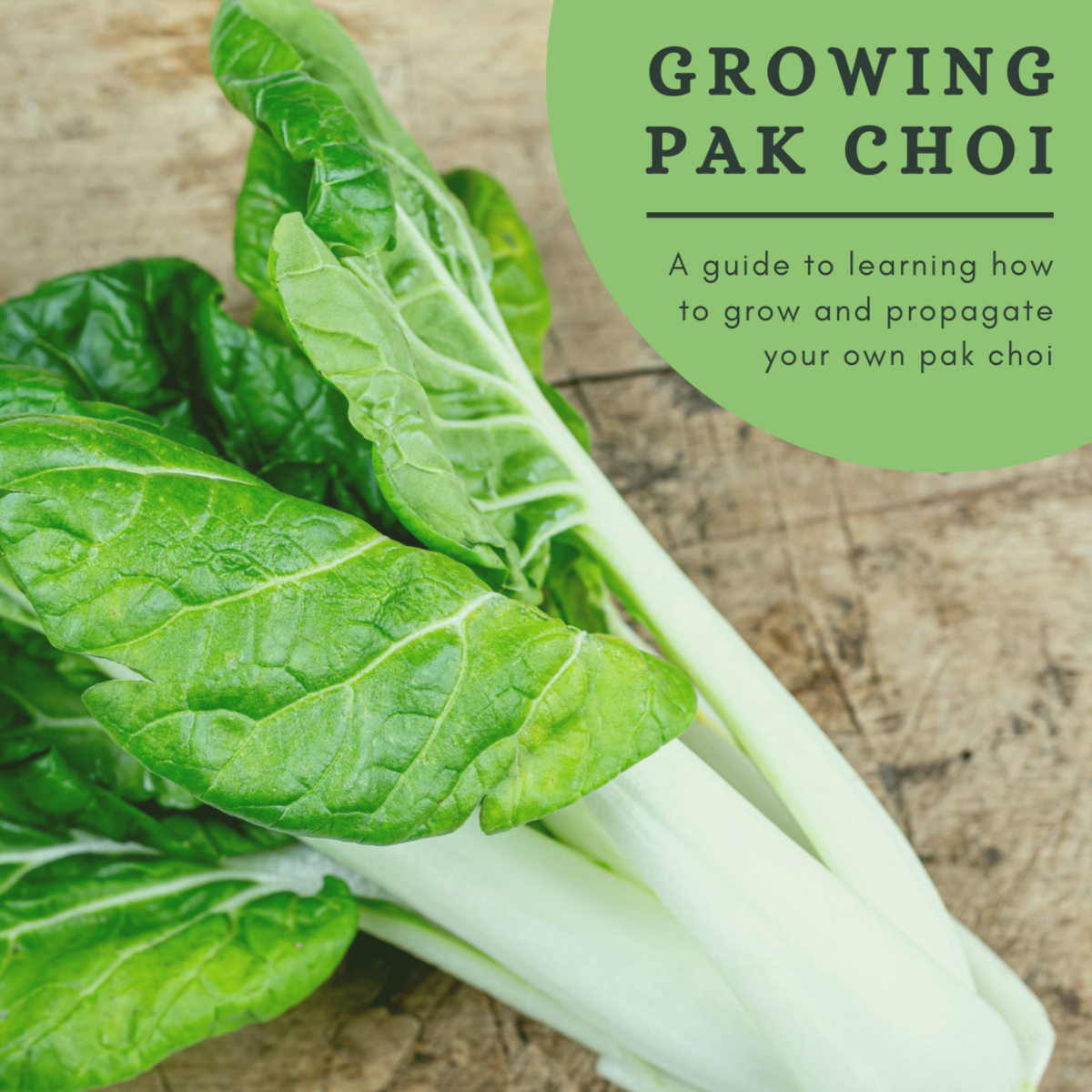 How to Grow Pak Choi (Pechay)
