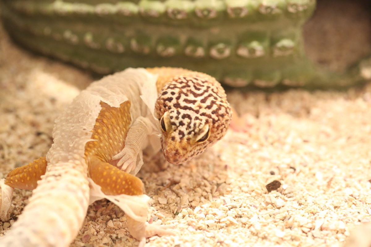 eye-problems-in-leopard-geckos-diagnosis-treatment-and-prevention