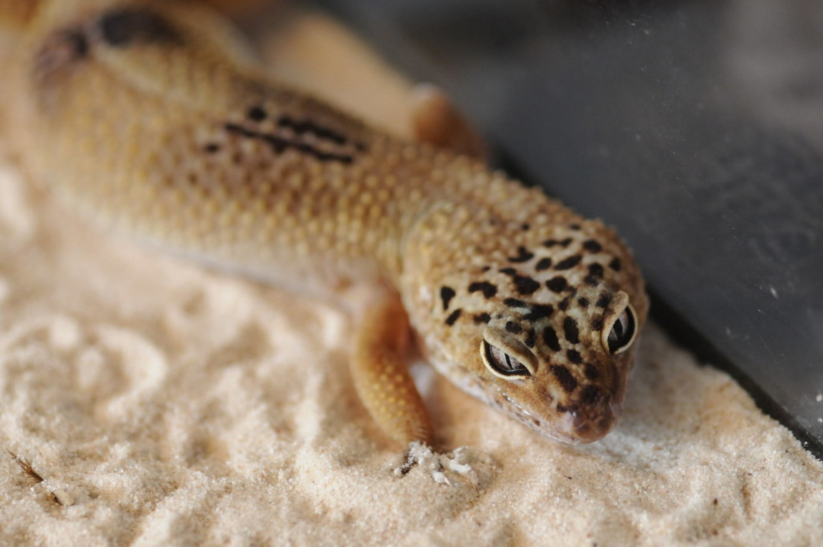 Keeping leopard geckos on sand may result in eye problems.