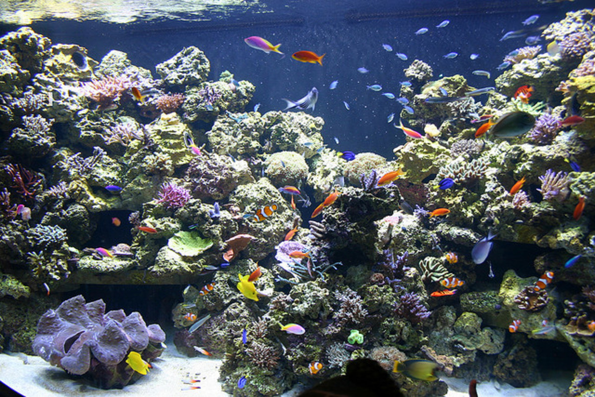 A nicely stocked reef aquarium (real corals) with plenty of swimming/forging room for the inhabitants.