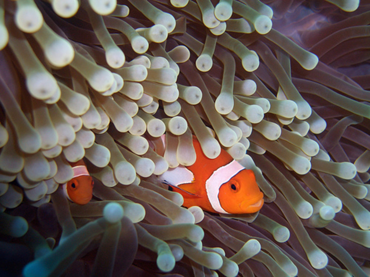 Made popular by the movie Finding Nemo, various clownfish can be captive bred.