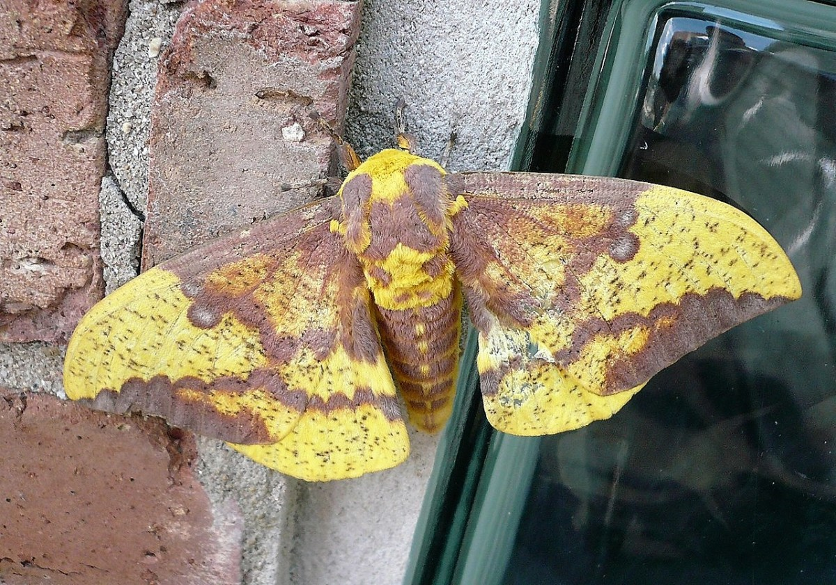 A male imperial moth