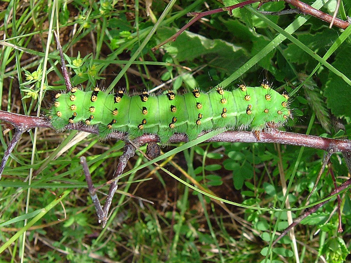 A caterpillar of Saturnia pavonia