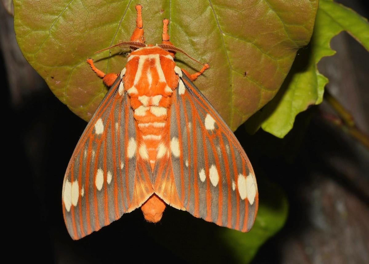 A regal moth