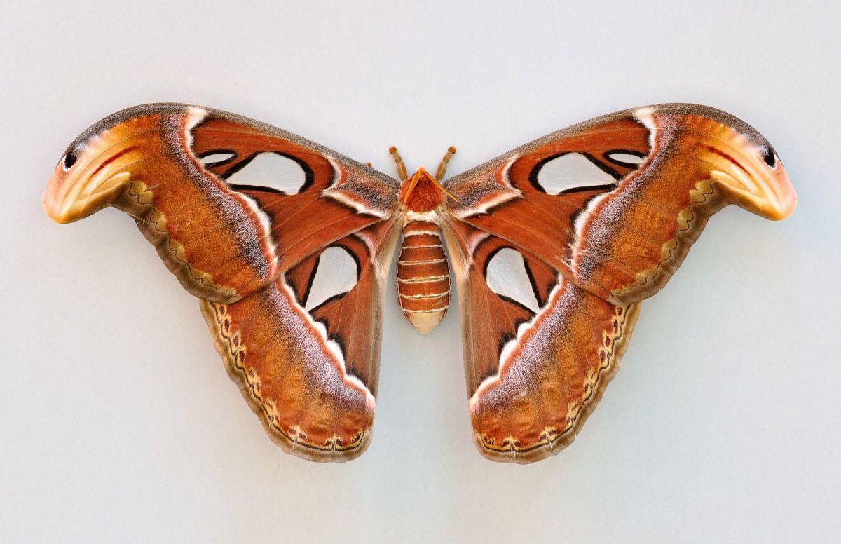A Female Atlas Moth