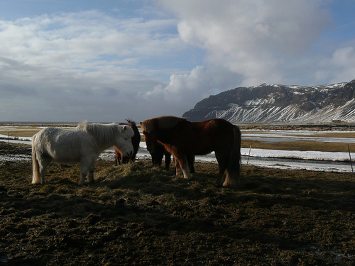Icelandic horses in their native land