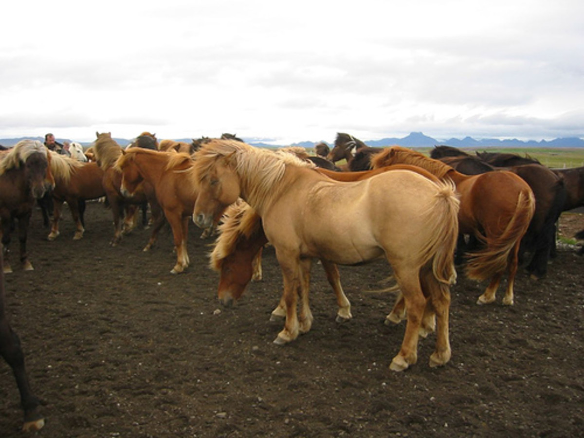 Icelandic horses in the wind