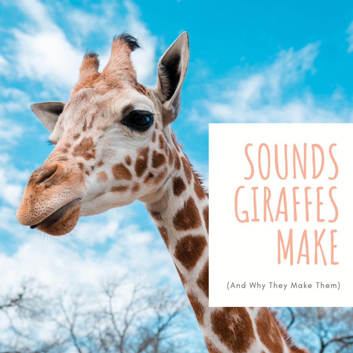What Sounds do Giraffes Make?