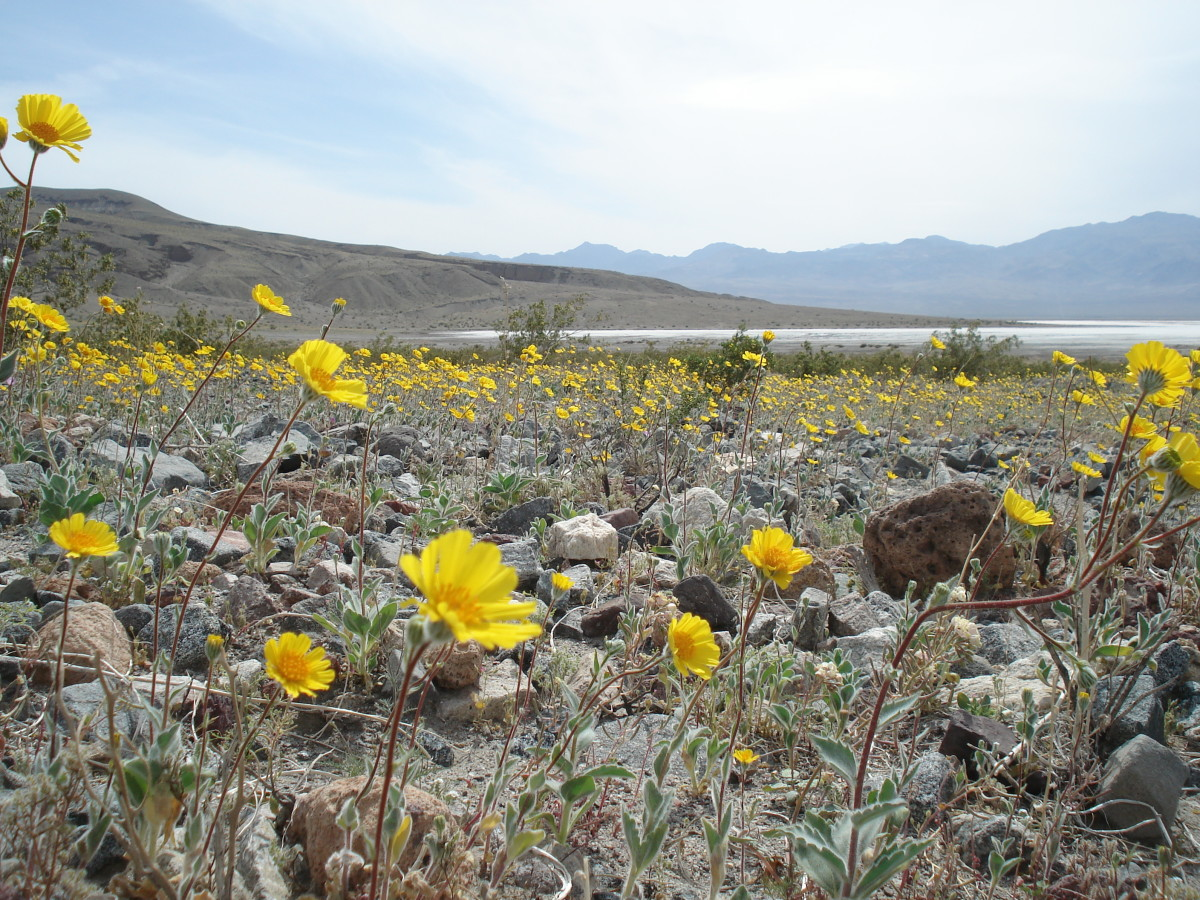 A wildflower bloom in Death Valley.