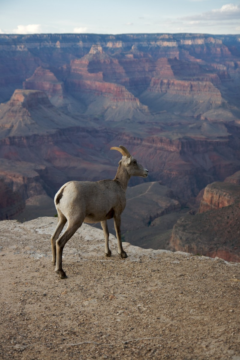 A bighorn ewe at the edge of the Grand Canyon.