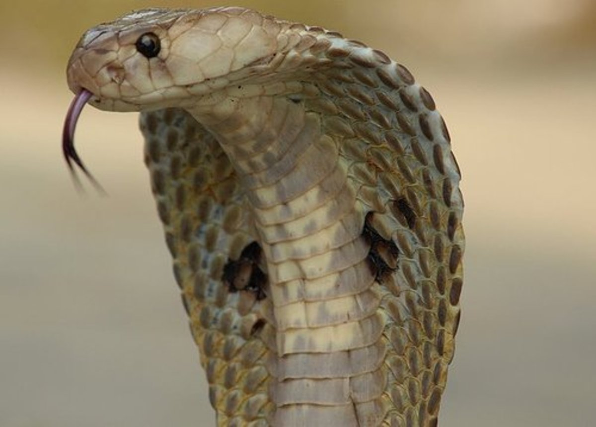 King Cobra. Snakes are common in Thailand, be wary of any grassed areas or undergrowth