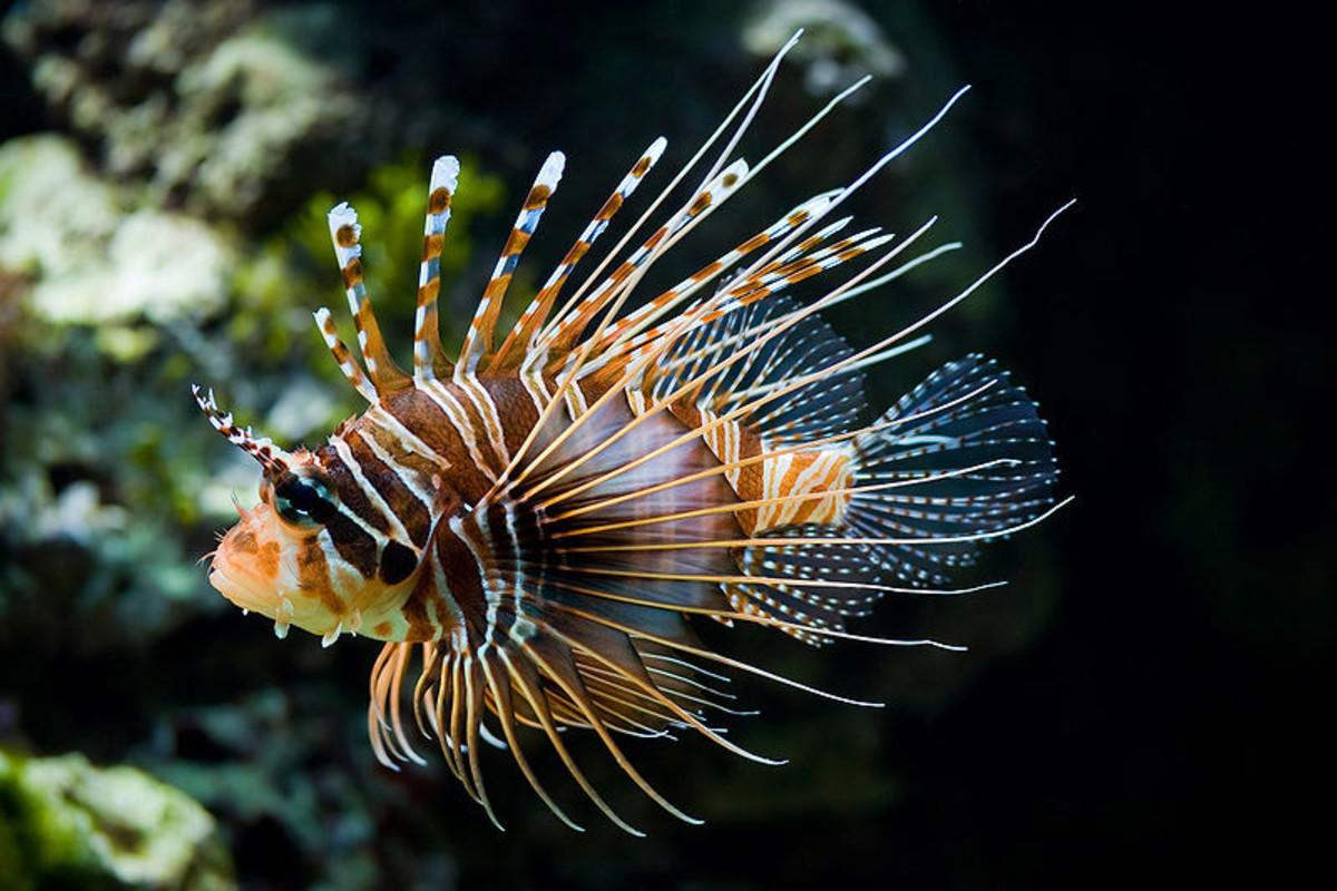 Lion Fish. Photo: Christian Mehlführer