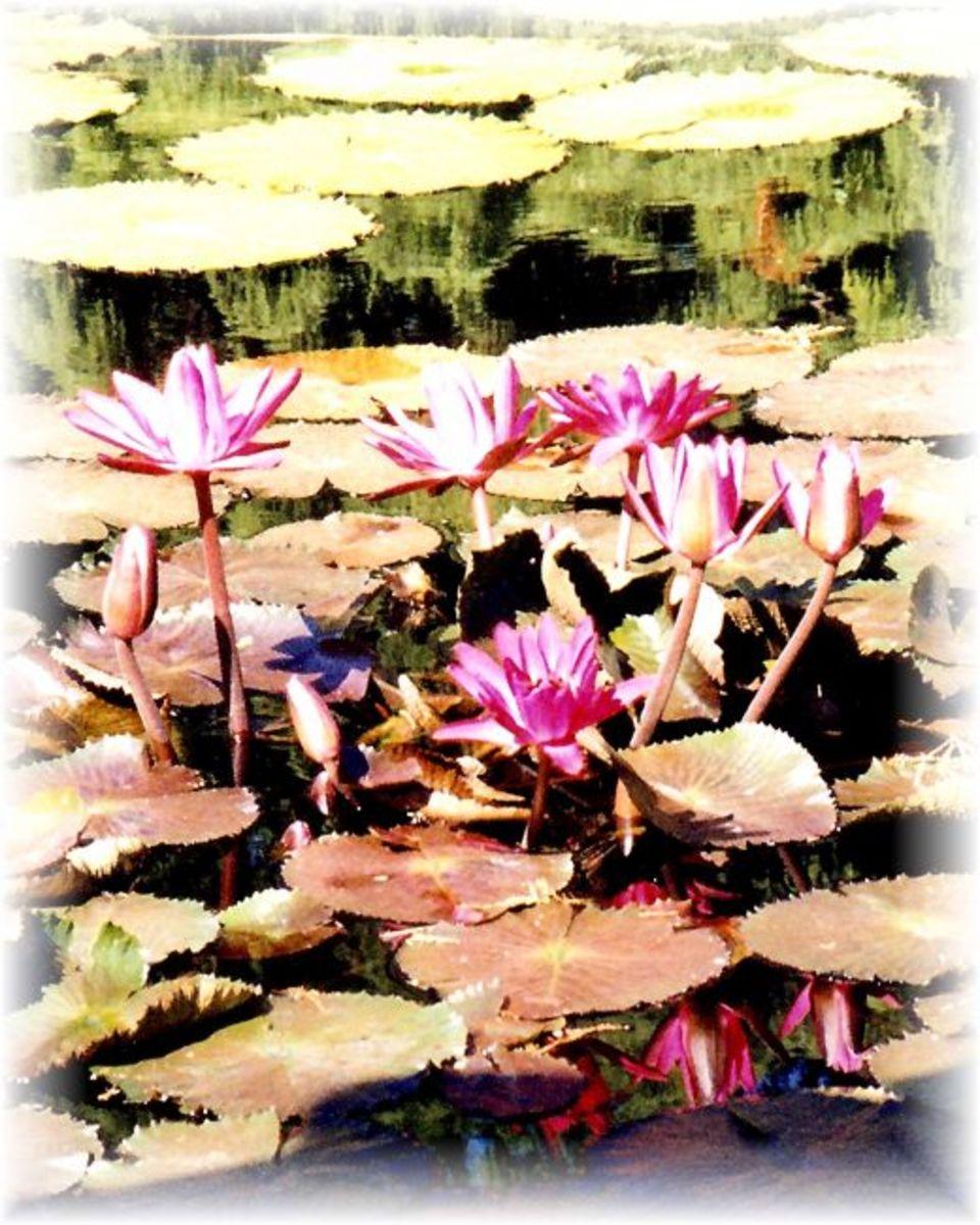 Water lilies in the Missouri Botanical Garden
