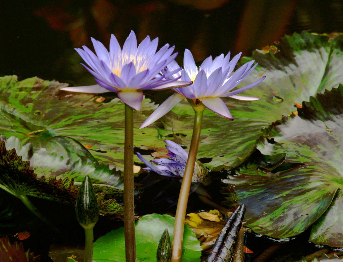 Water lilies in Hawaii