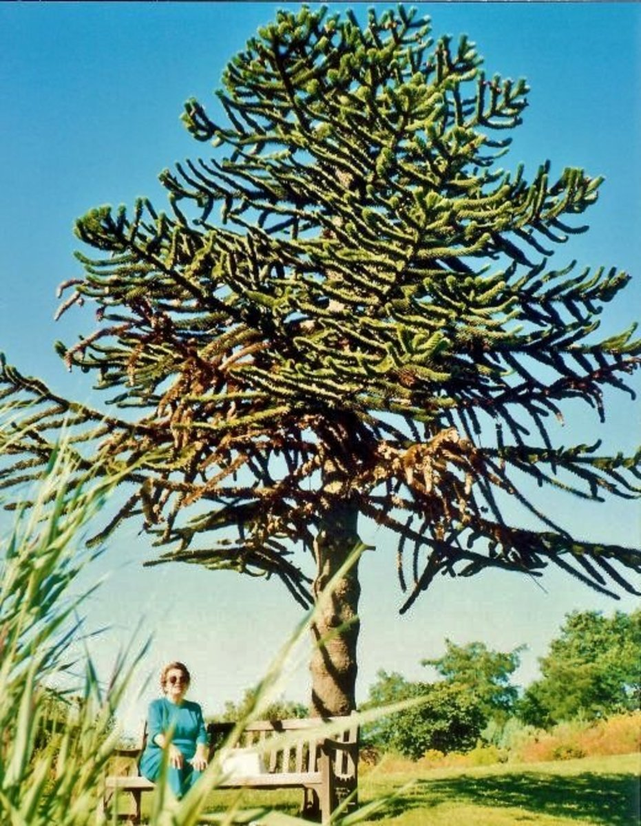 My mother seated below a monkey puzzle tree