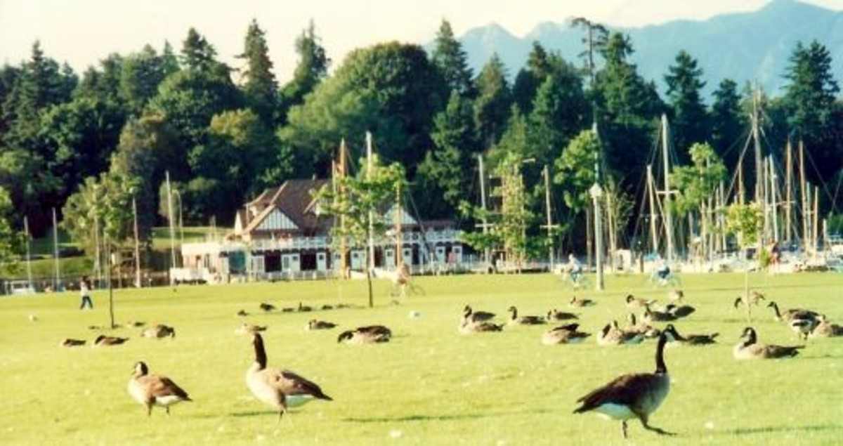 Many Canadian geese near Stanley Park in Vancouver