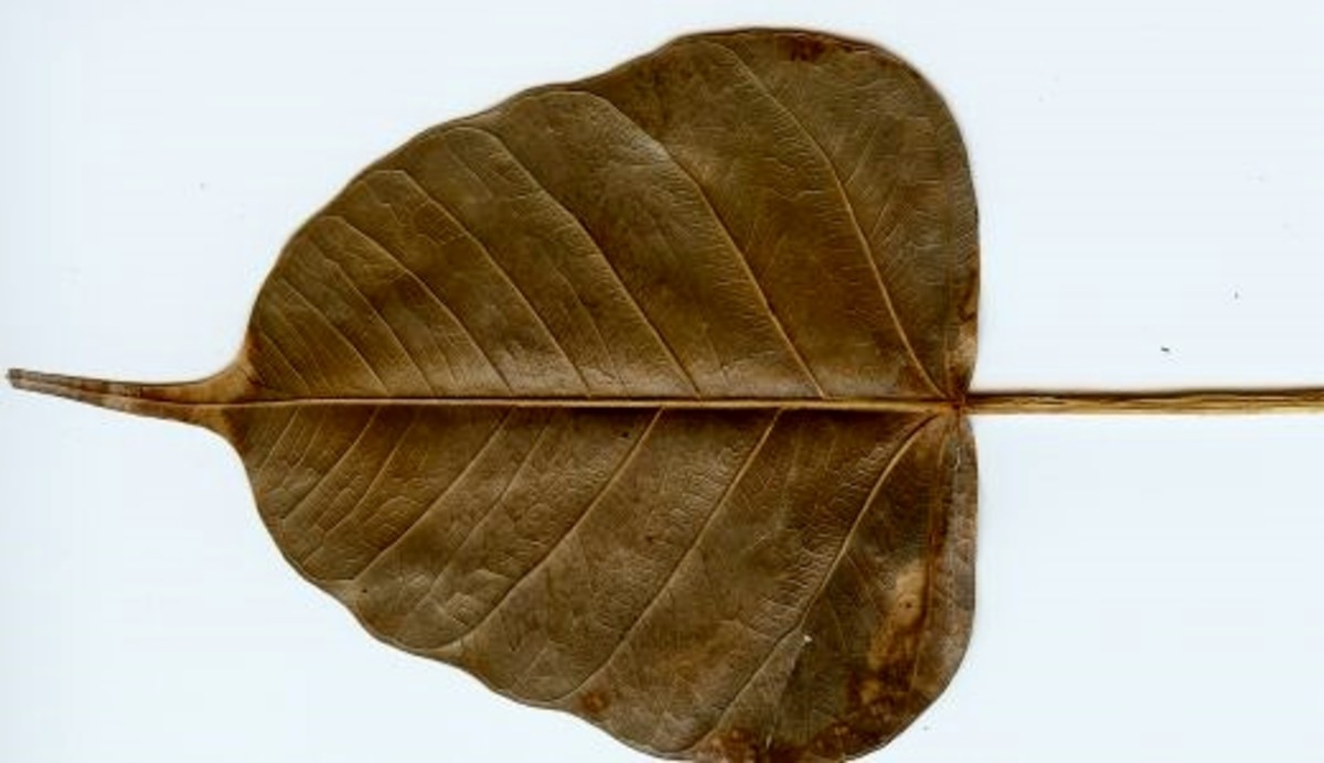 A dried Bo leaf at the Selby Gardens