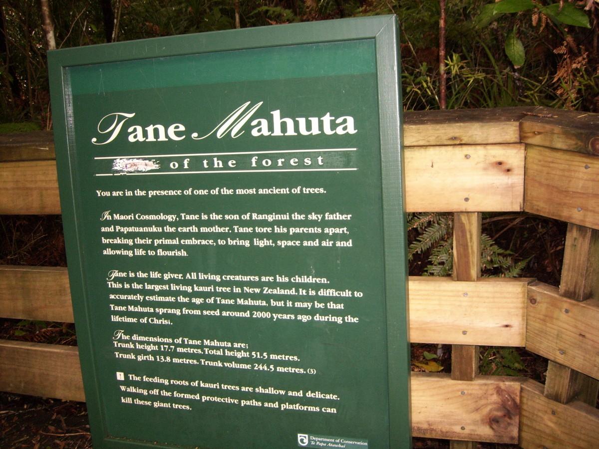 Tane Mahuta - Biggest Kauri Tree