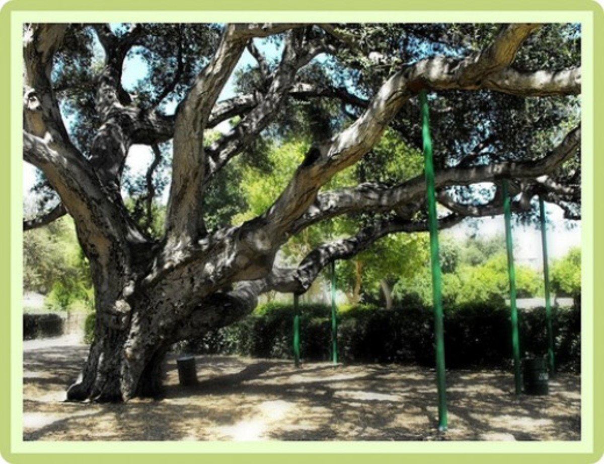 Old growth live oak tree. There are others in the foothills above this location. Some were moved and preserved by the builders of tract homes that came in the eigthies and later.