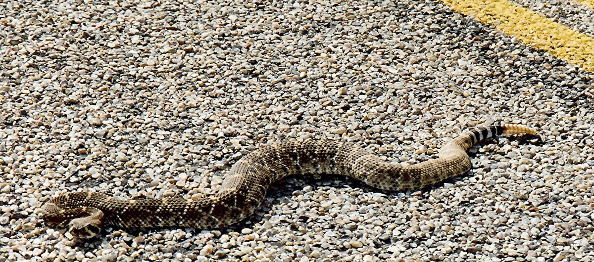 A rattlesnake we saw on the road in Palo Duro Canyon.
