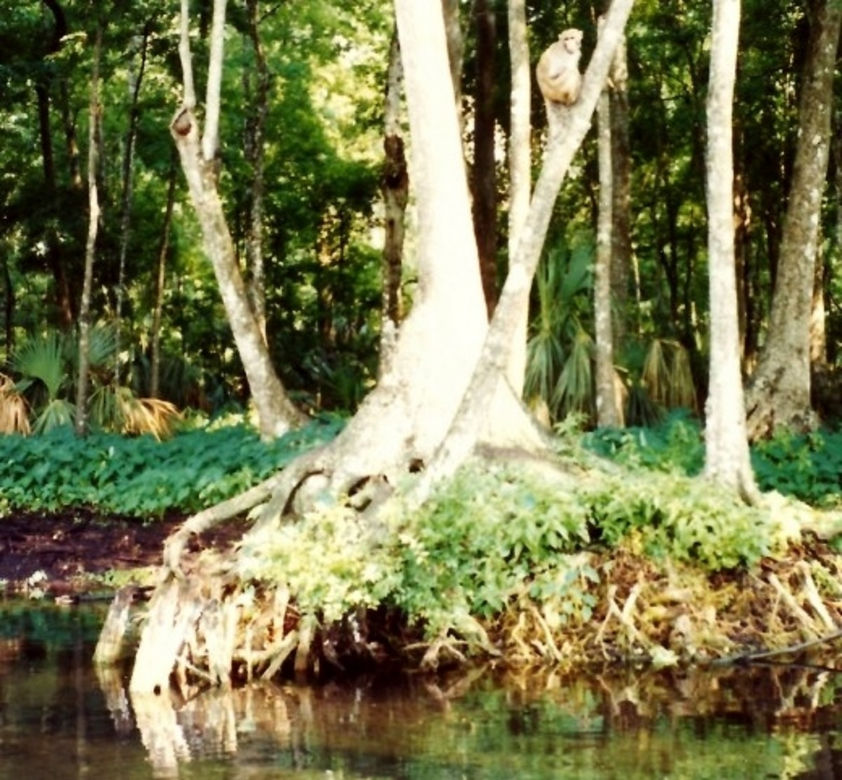 Note the monkey in the tree at Silver Springs, Florida.