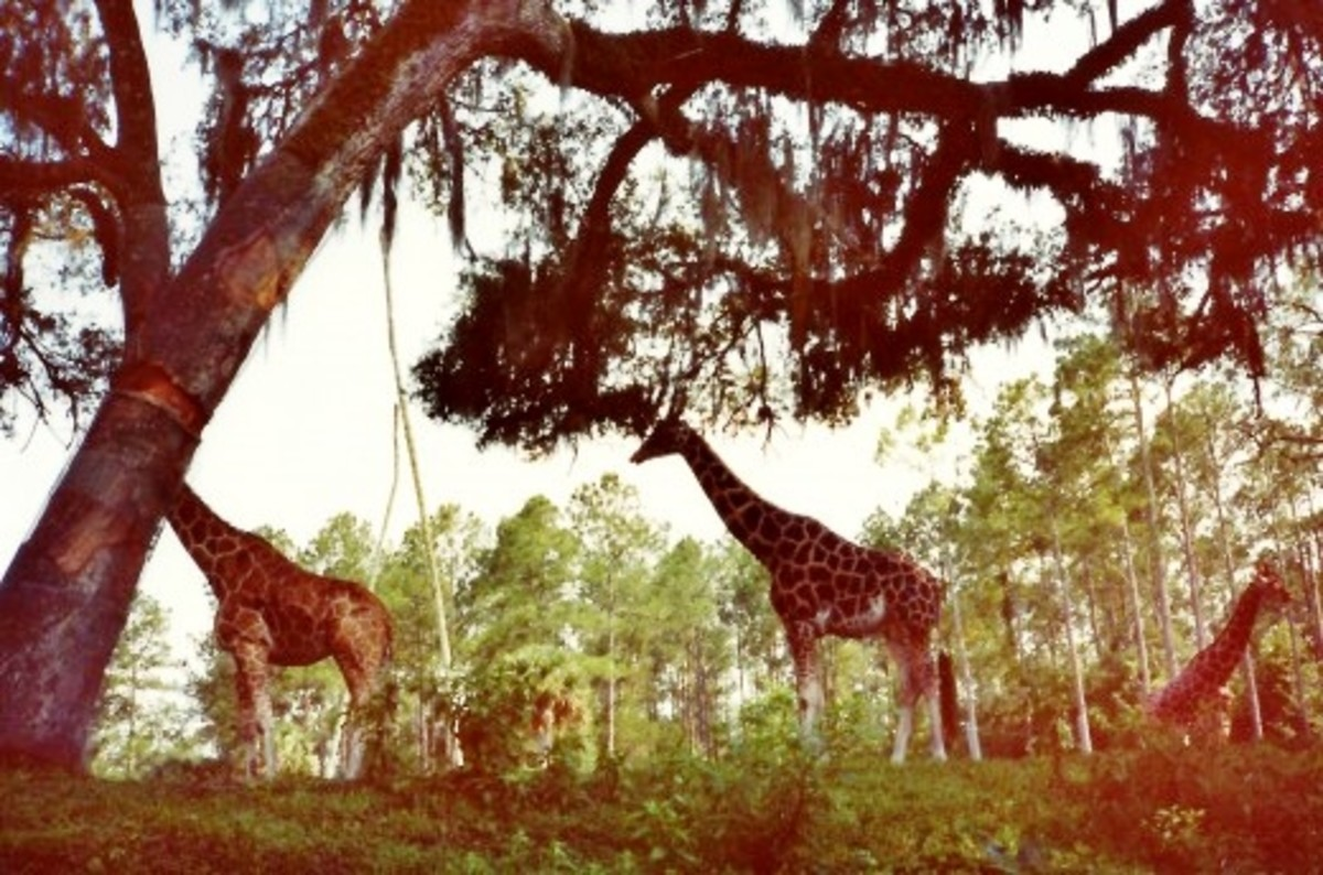 Giraffes roam freely here as well as other animals like zebras, llamas, etc.  Silver Springs, Florida