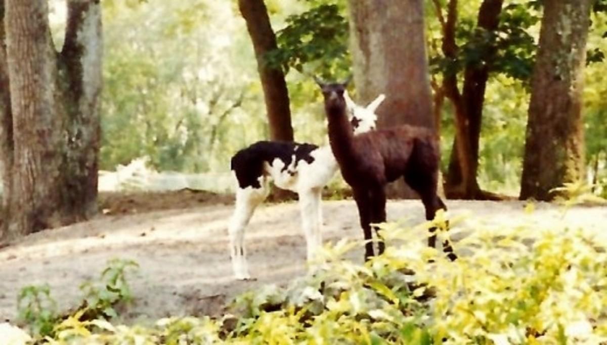 Some twin llamas at Silver Springs
