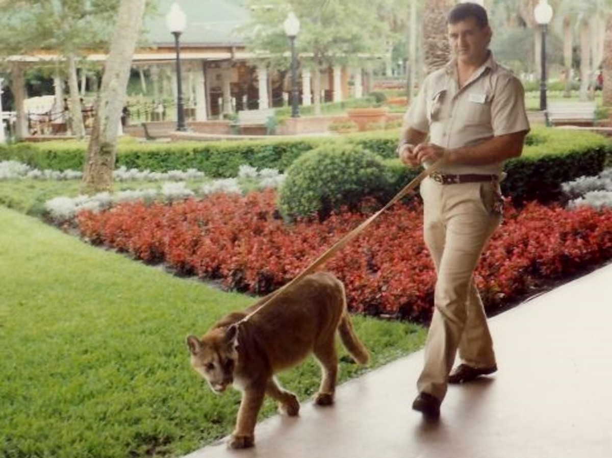 A Florida panther being walked at Silver Springs, Florida