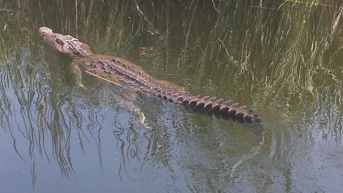 The Black River Safari Tour is an educational Jamaican family attraction where kids can learn about crocodile habitats.