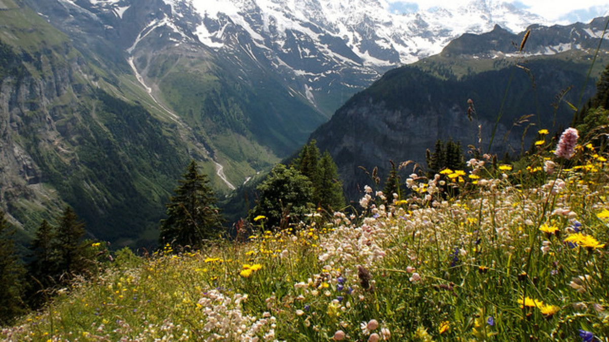 Alpine Meadow Flowers—Switzerland