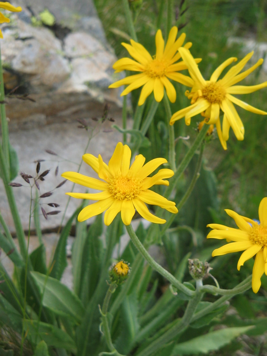Chamois Ragwort—Sunny yellow mountain flower