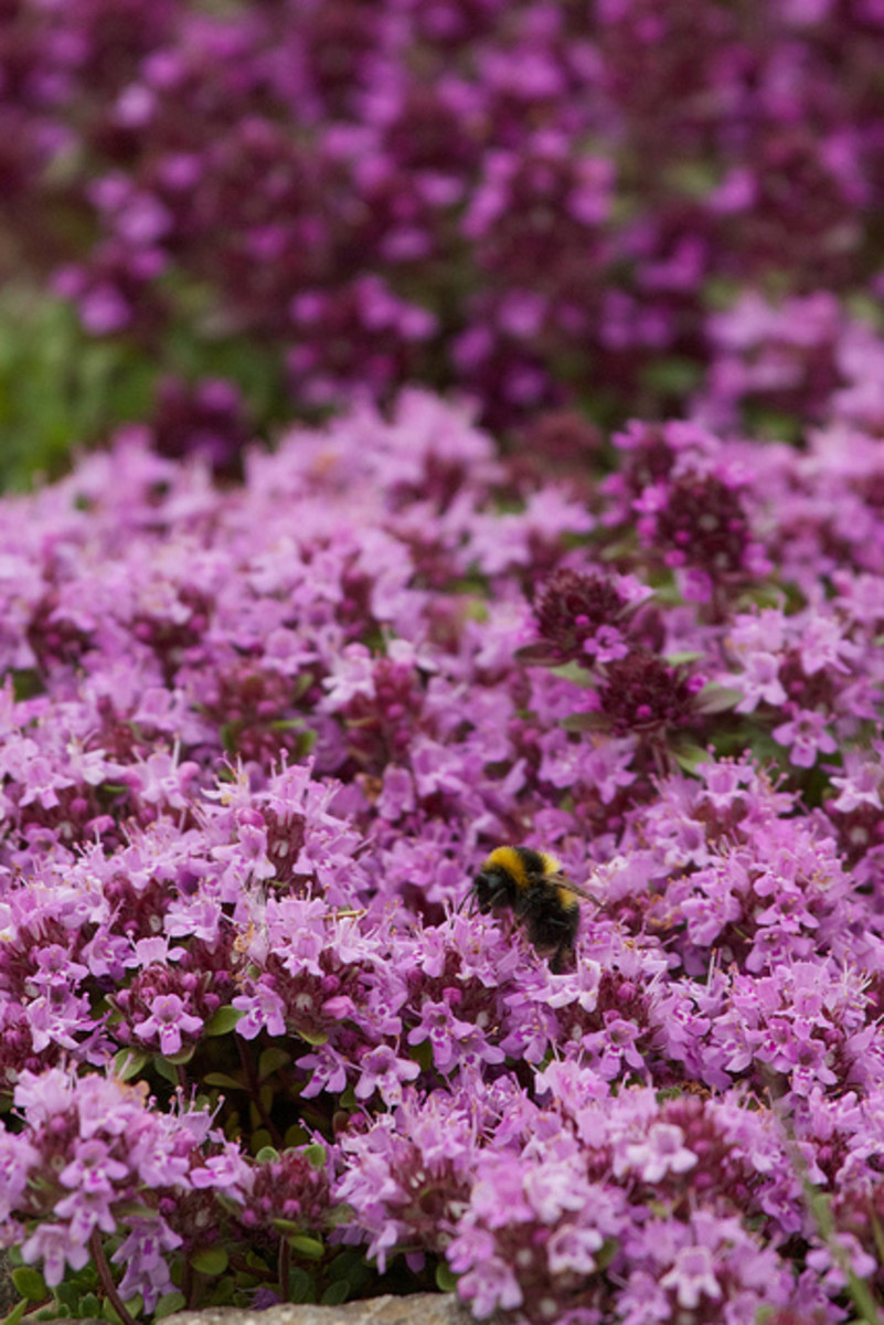 Purple Saxifrage—Swiss mountain flowers with tiny pink blooms
