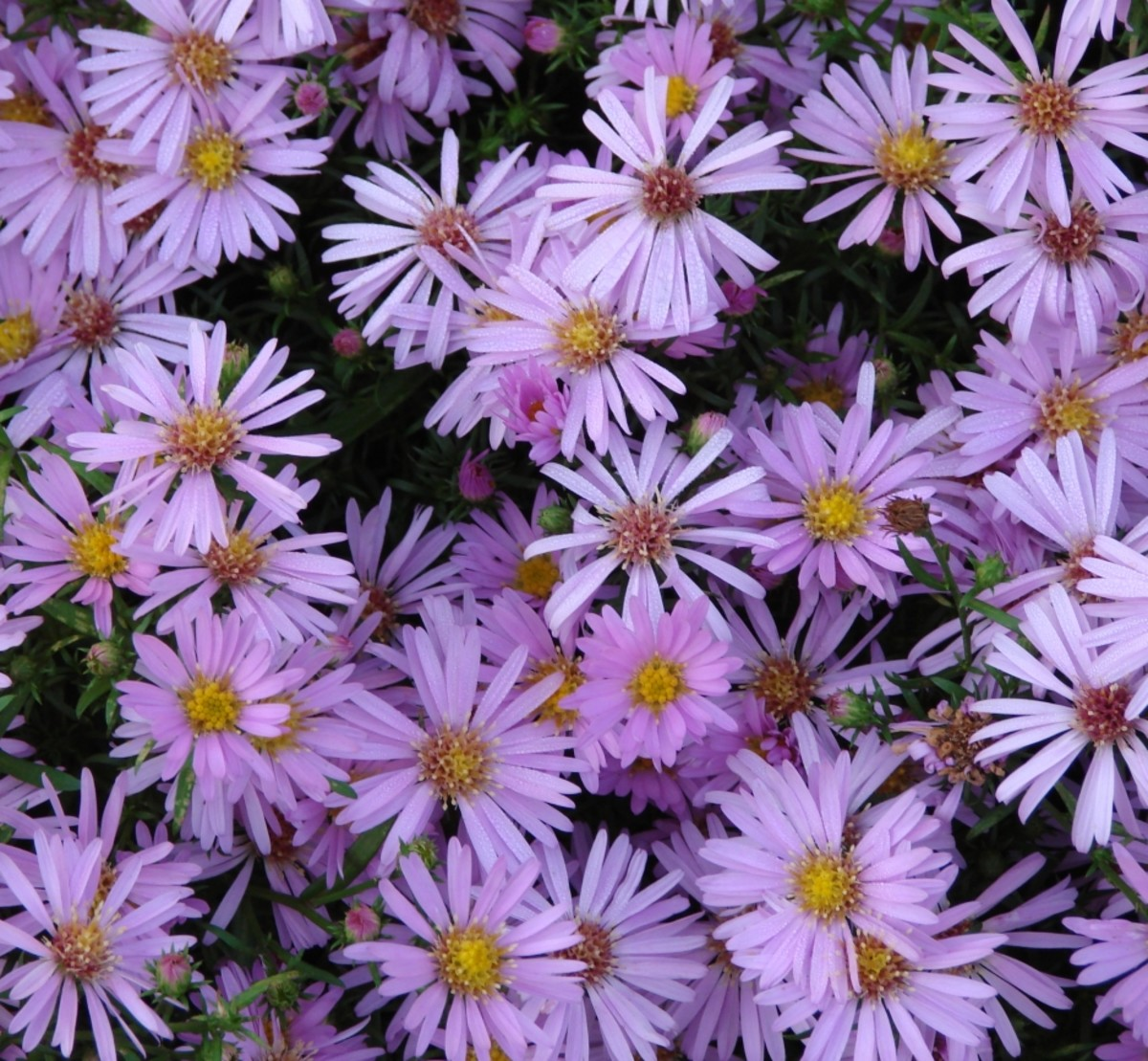 Alpine Aster—Pretty lilac or pink colored daisy-like bloom