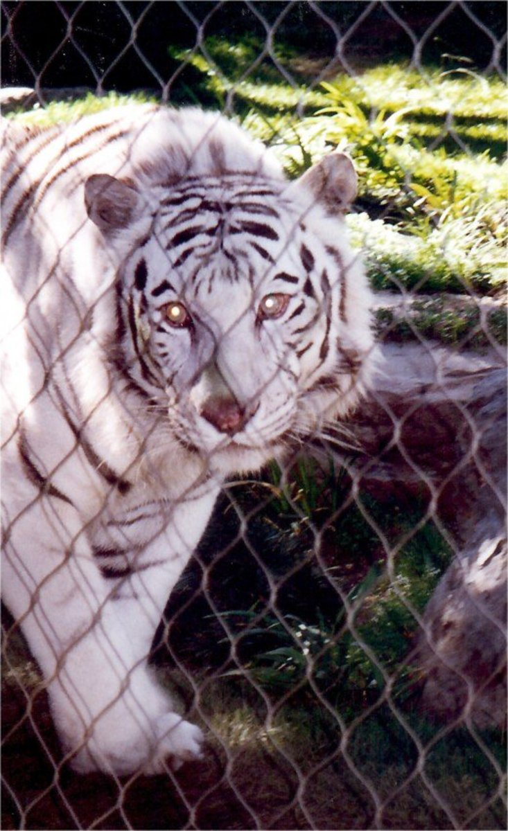 One of Siegfried & Roy's White Striped Tigers at the Mirage